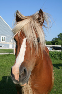 Merry, a beautiful and sweet 5-year old pony